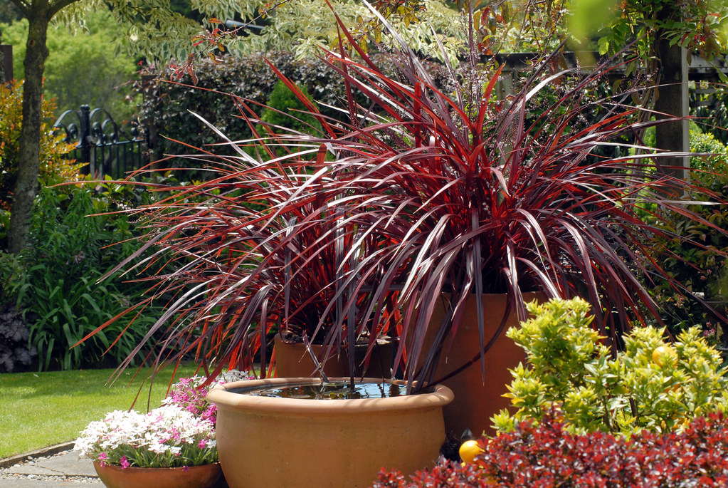 Festival Burgundy Cordyline With Lemon Tree In Container