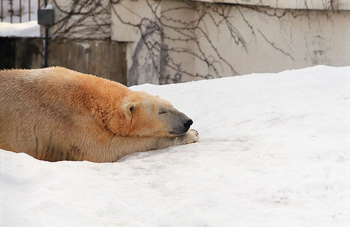 sleepingshirokuma01