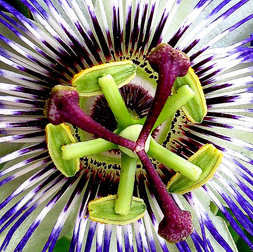 Mahabharatham Flower/ Passion fruit Flower/Passion flower from kerala | by {deepapraveen very busy with work..back soon