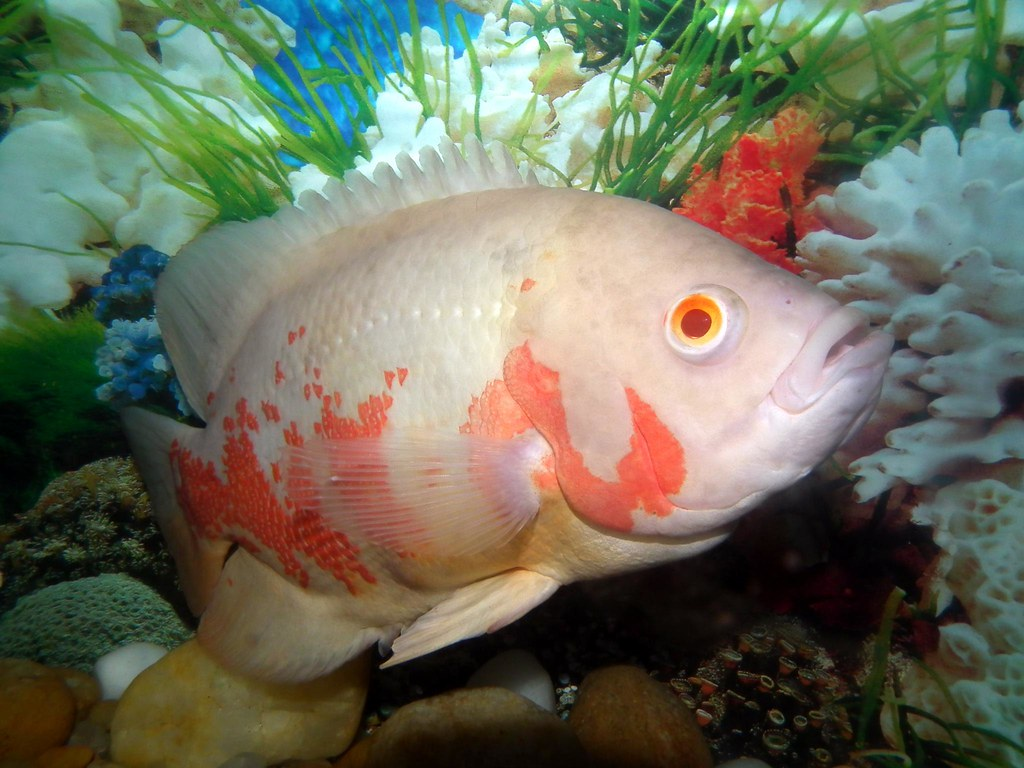 Tiger Oscar Fish Astronotus Ocellatus Is A Species Of