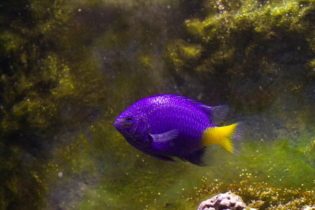 Yellowtail Damselfish | Canon EOS 50D [modified IR ...