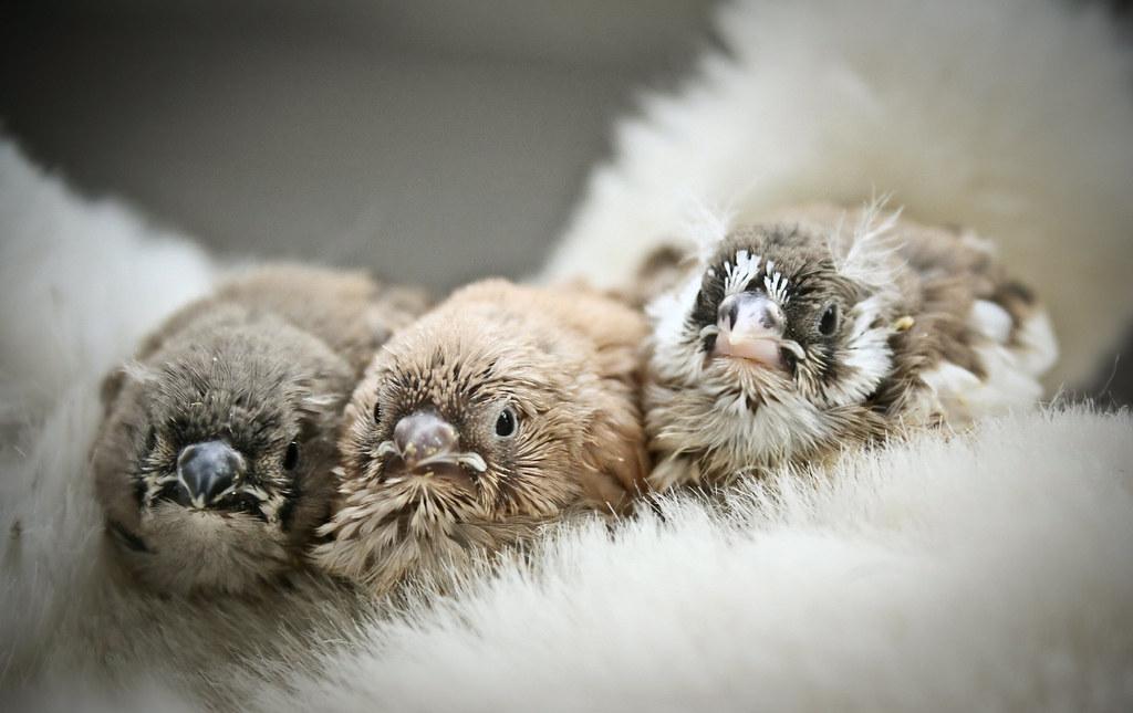 Zebra Finch babies | astakatrin | Flickr