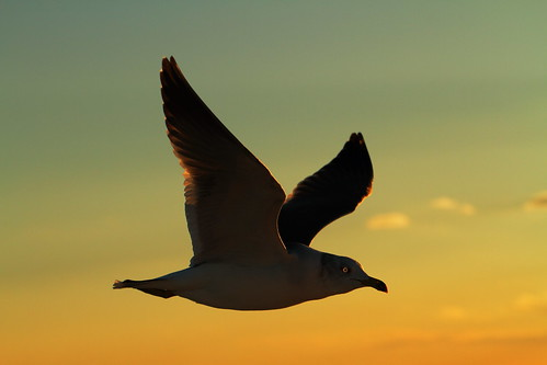 Seagull at Sunset | by ♥ Spice (^_^)