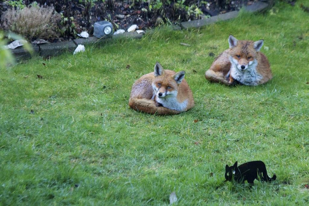 london foxes with  u0026 39 cat u0026 39      shooting john u0026 39 s fox