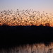 Starlings in the reed beds