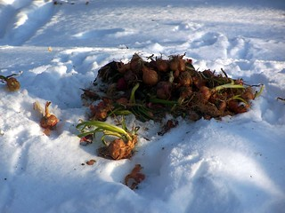 Compost Pile at Parent's House. Covered with snow on this very wintery day. | by andyarthur