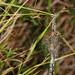 Araña Tigre - Wasp Spider - Argiope bruenichii - Poliandria - Polyandry