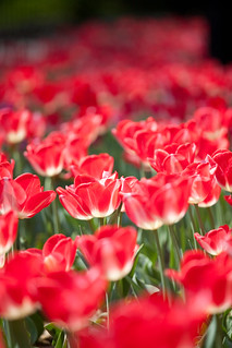 Tulipes rouge