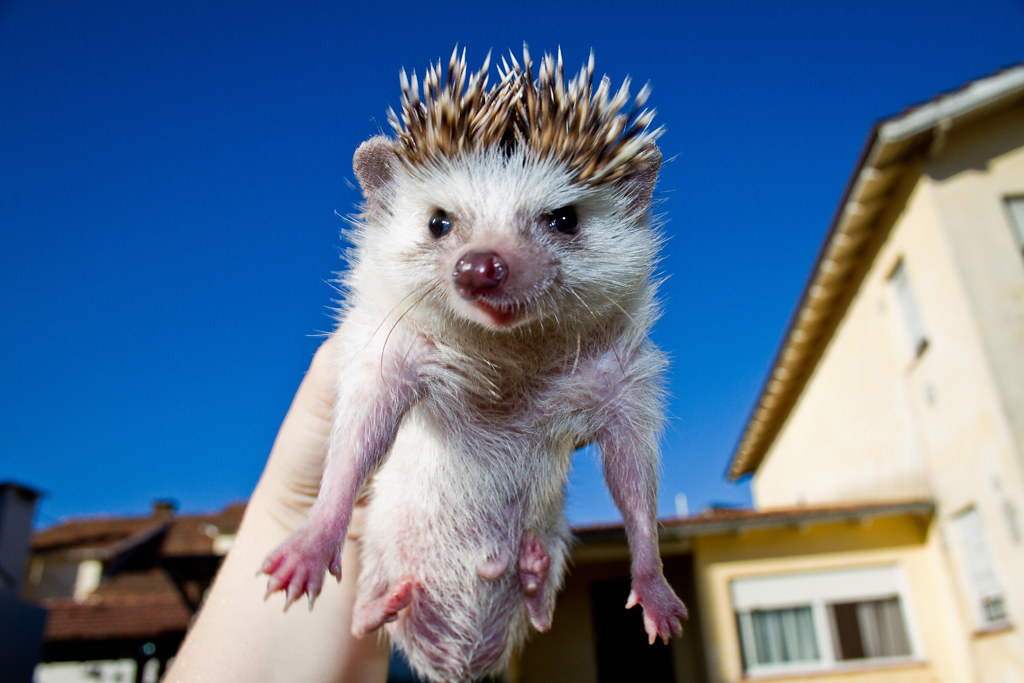 my angry hedgehog facebook l twitter agustina lusky