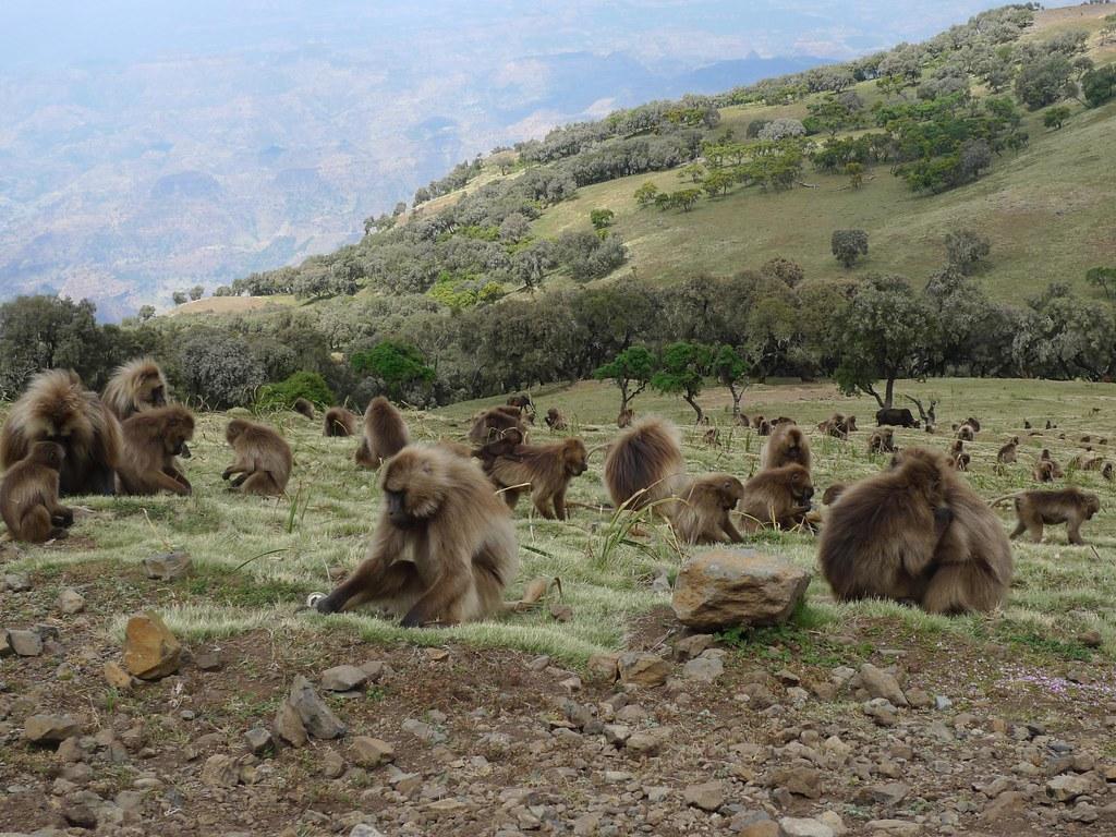 Эфиопские гелады