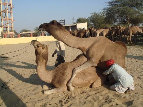 camel porn kim booth flickr