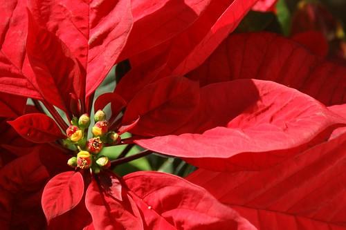 """Foto """"Stella di Natale"""" by Maurizio - flickr"""