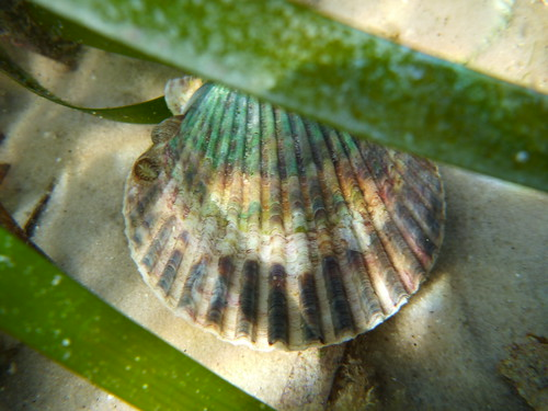 Bay scallop in St. Joe Bay seagrass bed | by wfsu.org