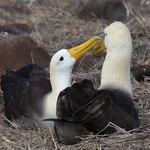 Waved Albatross Pair