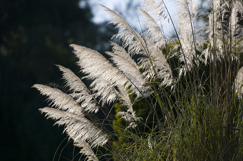 Ornamental Grass | by csbarnhill