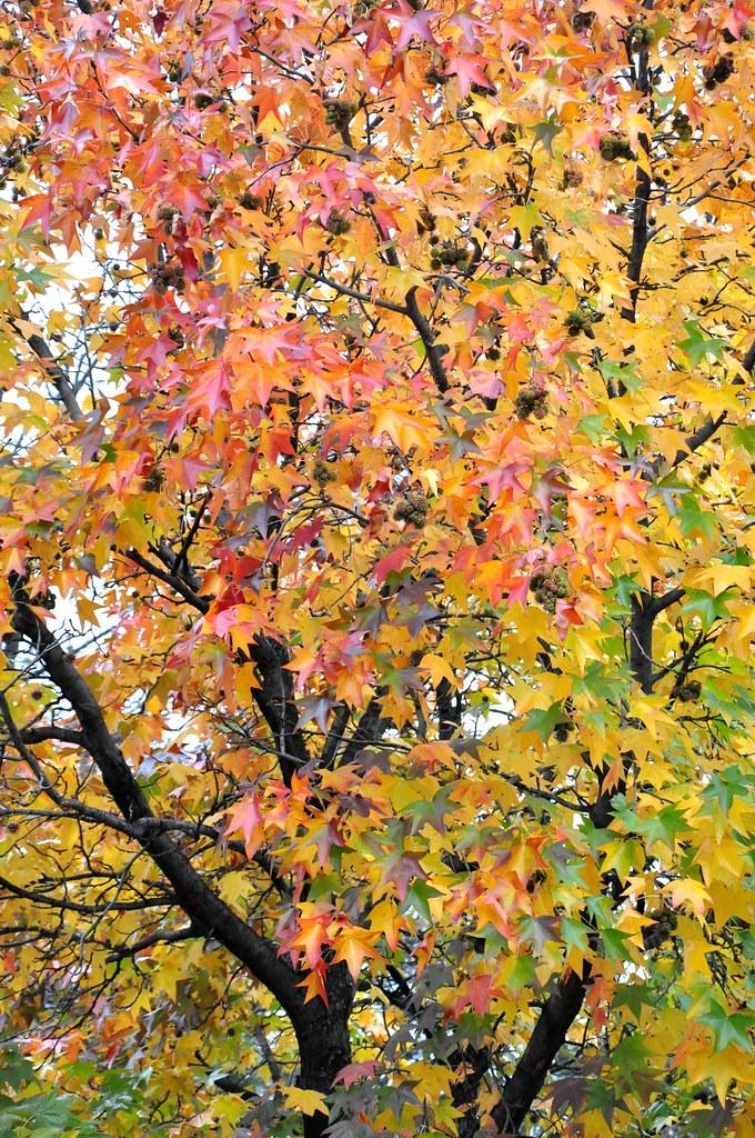 American Sweetgum Fall Foliage Color  The Fall Foliage