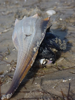 Lightning Whelk | by wfsu.org