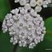 White Milkweed - Asclepias variegata