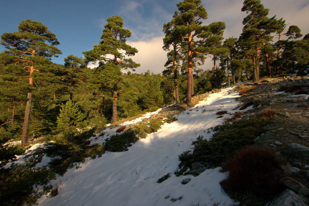 Pinar de Pinus sylvestris