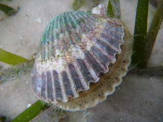 Bay Scallop in St. Joe Bay | by wfsu.org