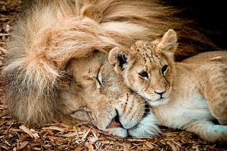 Lion & Cub | by Paul Mansfield