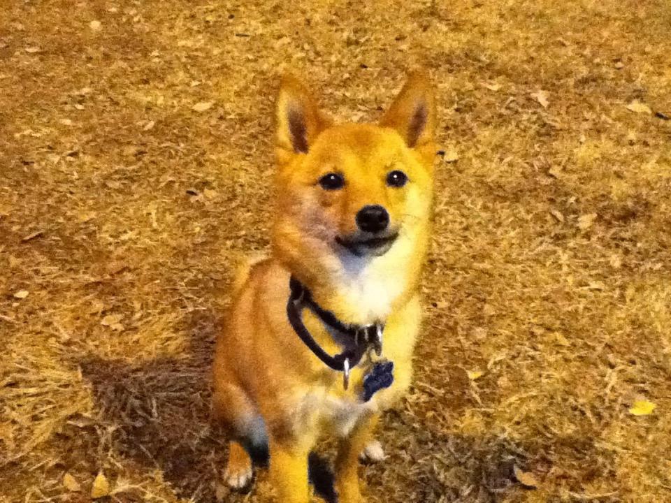 Image Result For Shiba Inu Rescue