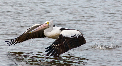 Pelican | by Brisbane City Council