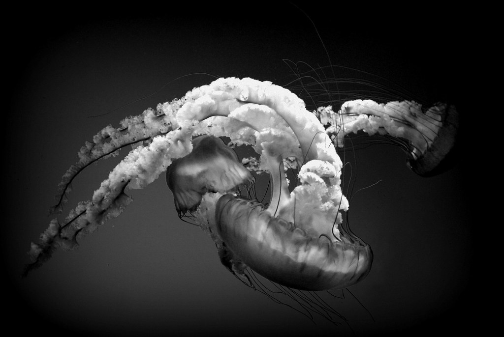 Jellyfish Photography Black And White Black And White Jellyfish