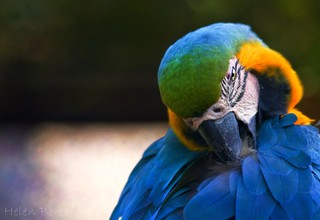Blue and Yellow Macaw | by Helen Beresford