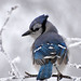 Brilliant Blue Jay