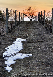 Vineyard ... on the Eve of Spring | by Ken Scott