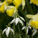 Snowdrops and Daffodils