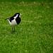 Female Magpie-lark spots her lunch