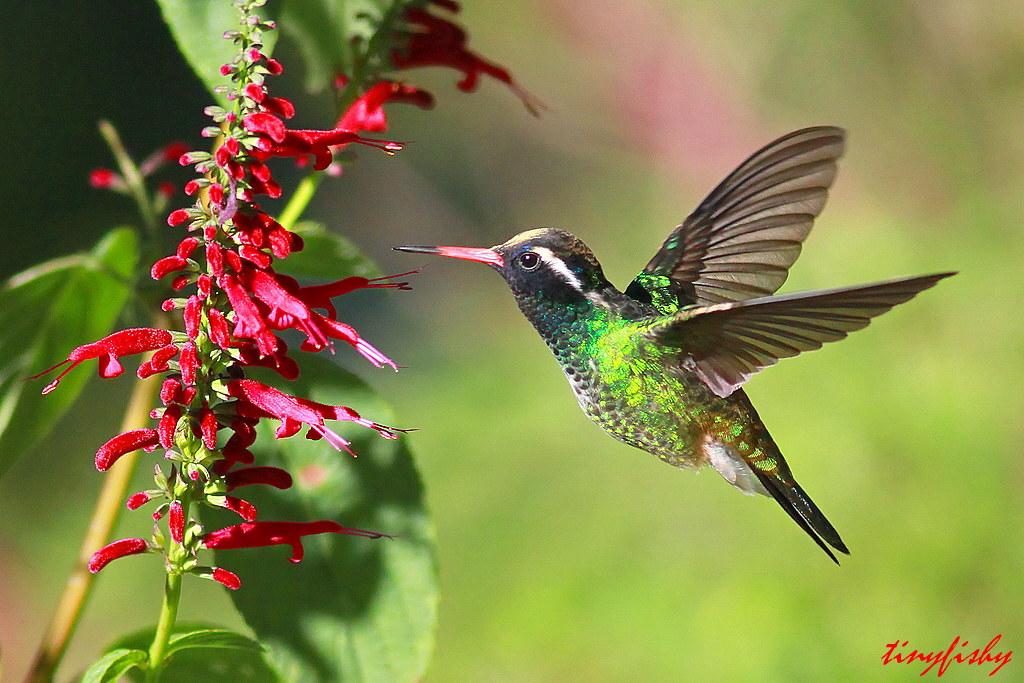 N Home Elevation Jobs : N am species white eared hummingbird view large