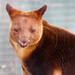 Tree Kangaroo giving a wink