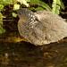 黑冠麻鷺(juv)