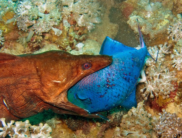 Moray eel eating fish sharif galal flickr for What do fish eat
