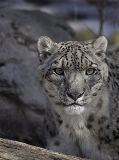 Snow Leopard | by ArtCPhotos