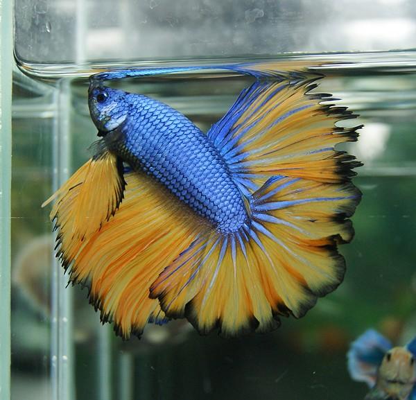 Blue and yellow betta fish - photo#2