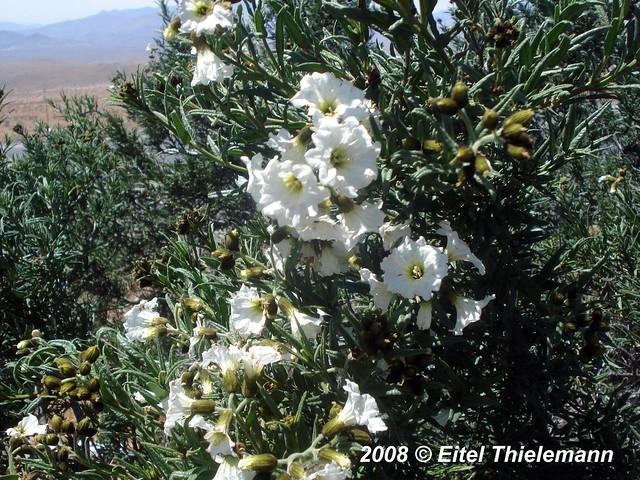 Cordia decandra arbusto con flores especie cordia - Arbustos con flores ...