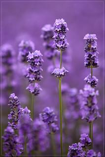 lavender by Menno Abbink, on flickr