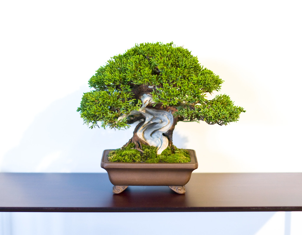 Shohin Chinese Juniper Bonsai Tree at Don Valley Bonsai Ro ...