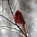 Red Bird, Gray Winter