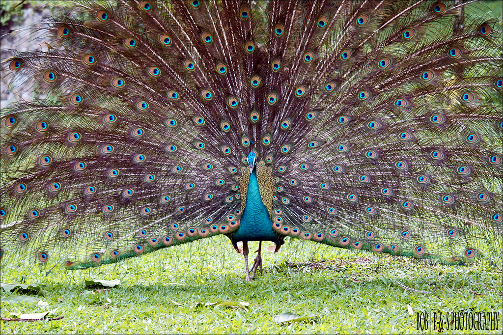 Green Peafowl (Pavo muticus) | Burung Merak (in Malay ...
