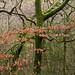 Tree Study - Cardinham Woods, Near Bodmin, North Cornwall