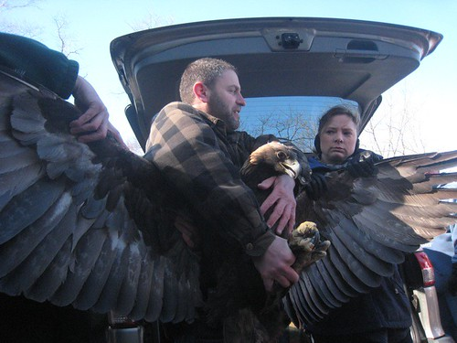 Golden eagle | by WNPR - Connecticut Public Radio