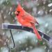 A Snow Bird