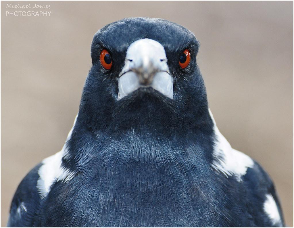 australian magpie portrait of an australian magpie not