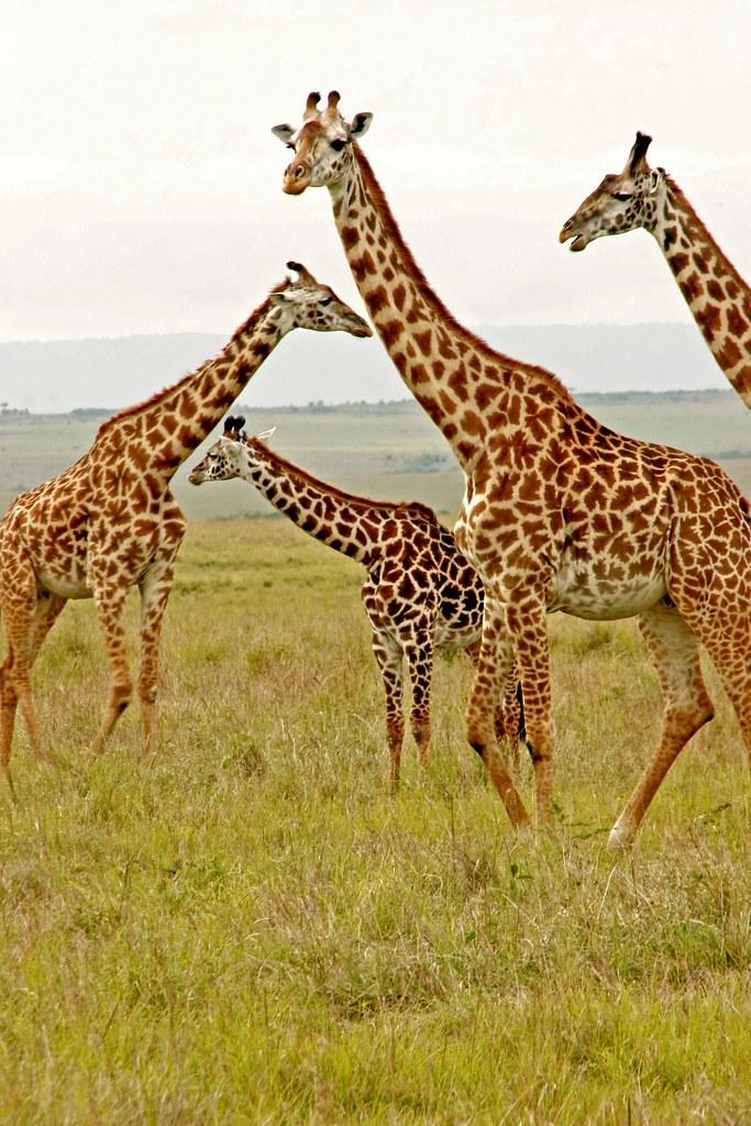 giraffe family where else do you find a quotgiraffe family