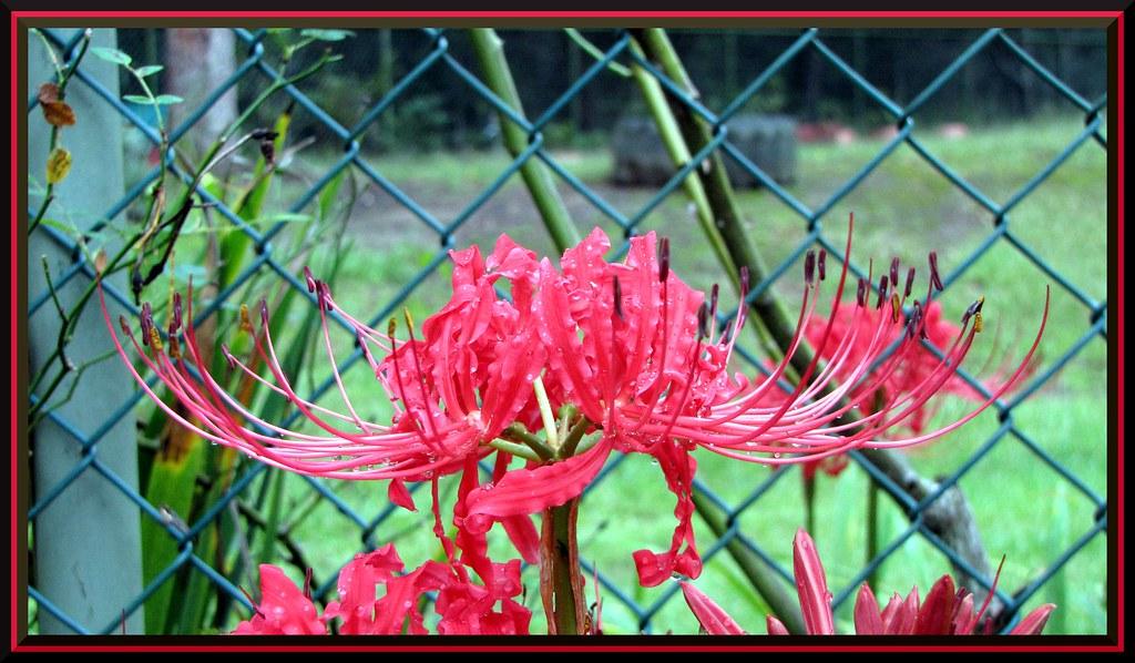 Jersey Lily Single Jersey Lily